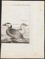 Erismatura leucocephala - 1788-1794 - Print - Iconographia Zoologica - Special Collections University of Amsterdam - UBA01 IZ17700165.tif