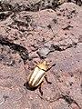 Escarabajo dorado aguarague.jpg