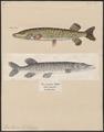 Esox lucius - 1700-1880 - Print - Iconographia Zoologica - Special Collections University of Amsterdam - UBA01 IZ14800087.tif