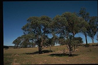Eucalyptus acaciiformis habit.jpg