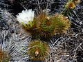Eulychnia acida (1).jpg