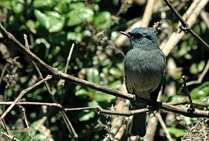 Dull-blue flycatcher - Eumyias sordida