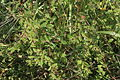 Euphorbia nutans (Nickend-Wolfsmilch) IMG 8827.JPG