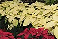 Euphorbia pulcherrima Yellow and red Mexico2019.jpg