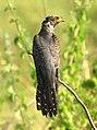 Eurasian Cuckoo Cuculus canorus by Vedant Raju Kasambe DSC 5558 (5).jpg