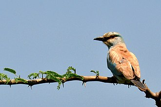 European roller - In South India