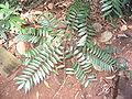 Eurycoma longifolia.JPG