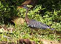 Eurypyga helias, Tapanti NP, Costa Rica 0.jpg