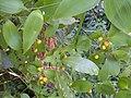 Eustrephus latifolius 5.jpg