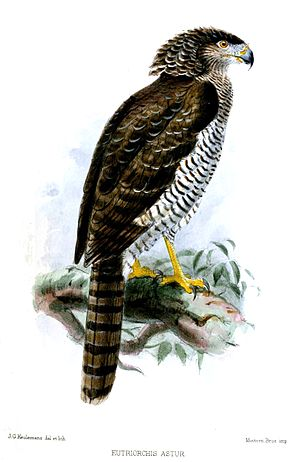 Madagascan serpent eagle - Image: Eutriorchis Astur Keulemans