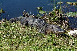 An alligator in the Florida Everglades, the largest wetland system in the United States.