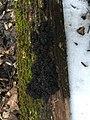 Exidia glandulosa 61849174.jpg