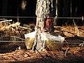 Extração de resina de Pinus.JPG