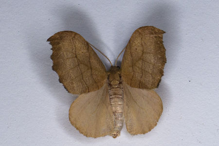 Falcaria lacertinaria, Lodz(Poland)02(js).jpg