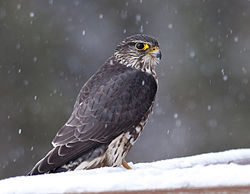 Falco columbarius (Merlin) (5530094753).jpg