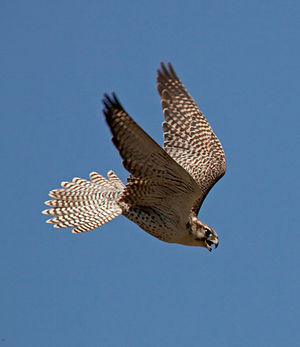 Motion camouflage - Falcons use infinite-point motion camouflage to close on their prey.