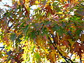 Fall-colors-tree - West Virginia - ForestWander.jpg