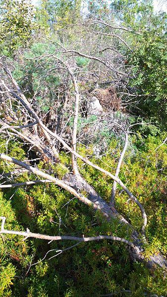 File:Fallen tree after Asta-storm 2010.jpg
