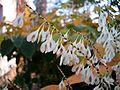 Fallopia-japonica(Fruechte).jpg
