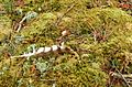 Feather on moss (521358010).jpg