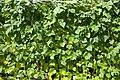 Feixons - Judias - Beans - Phaseolus vulgaris - 03.jpg