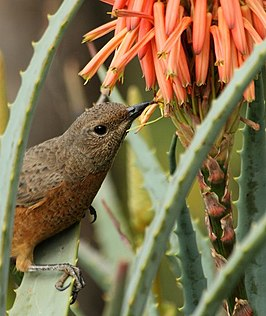 Female Cape Rock Thrush (Monticola rupestris).jpg