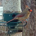 Female Cardinal- Birdcam (4280137088).jpg