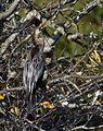 Female anhinga (9149157552).jpg