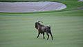 Feral billy goat, Mauna Lani Hawaii-2.jpg