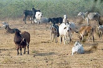 Indian aurochs - Feral zebu cattle roaming free at Keoladeo Ghana National Park, India