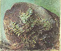 Ferns on a Rock.jpg