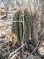 Ferocactus peninsulae ssp. townsendianus (5761754401).jpg