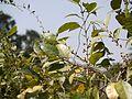 Ficus ¿ tinctoria ssp. parasitica ? (5494141570).jpg
