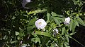 Field bindweed 001.jpg