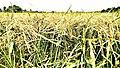 Field of Rice.jpg