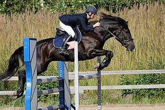 Finnhorse - Black is one of the rarest Finnhorse colours.