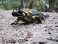 Fire salamander at Plitvice Lakes.jpg