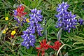 First day of the summer in the Alpine flowers of Sun Peaks...Common Red Paintbrush (Castilleja miniata) and Arctic lupine (Lupinus arcticus)... (28014553400).jpg