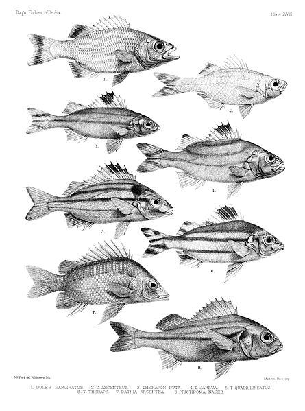 File:Fishes of India. Atlas. Plate XVIII.jpg