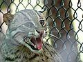 Fishing Cat - Wild Cat.jpg