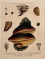 Five fungi, including two Boletus species, with anatomical d Wellcome V0044287.jpg
