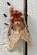 Flannel moth (Megalopyge sp.2).jpg