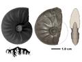 Flexoptychites flexuosus Prezzo 2.PNG