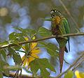 Flickr - Dario Sanches - TIRIBA-DE-TESTA-VERMELHA ( Pyrrhura frontalis) (3).jpg