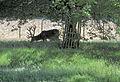 Flickr - Duncan~ - Deer at Bushy Park (2).jpg