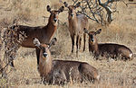 Flickr - Rainbirder - Common Waterbuck (Kobus ellipsiprymnus ellipsiprymnus) females.jpg