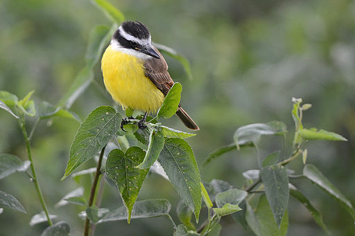 Flickr - ggallice - Great kiskadee