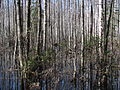 Flooded forest, Alam-Pedja, 2011-04.jpg