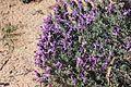 Flora della Sardegna 115 (5).JPG