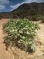 Flora of Tanzania 2379 Nevit.jpg